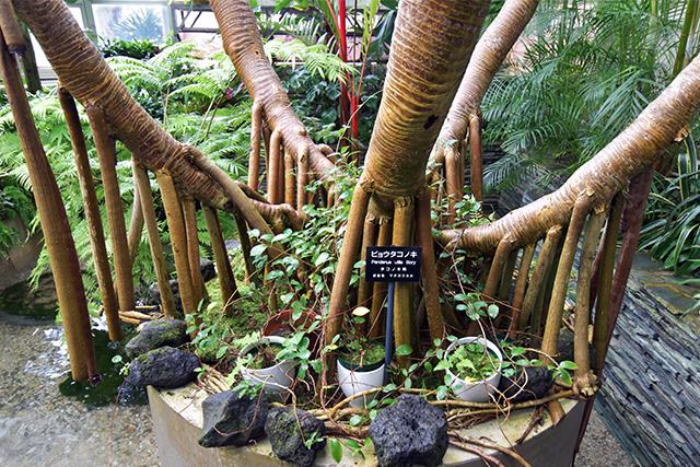 佐野植物公園 ビョウタコノキ