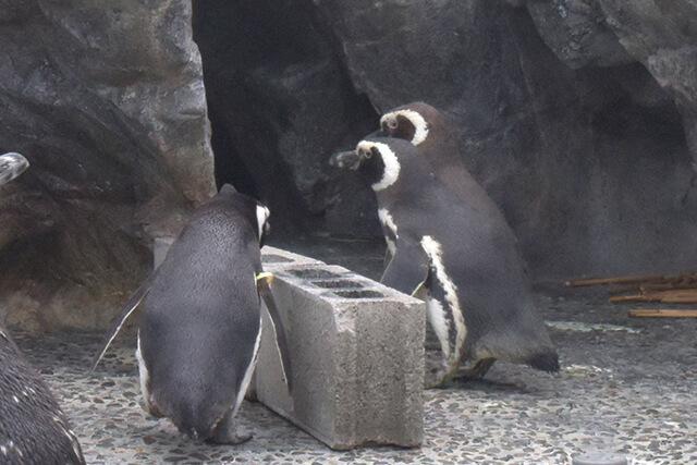 うみたまご ペンギンの三角関係