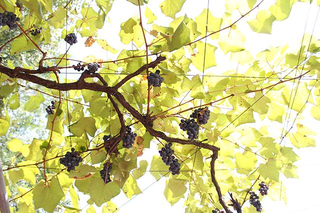 「地元産のワインが美味しい」ってシアワセ♡ 安心院葡萄酒工房