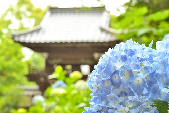 普光寺 紫陽花